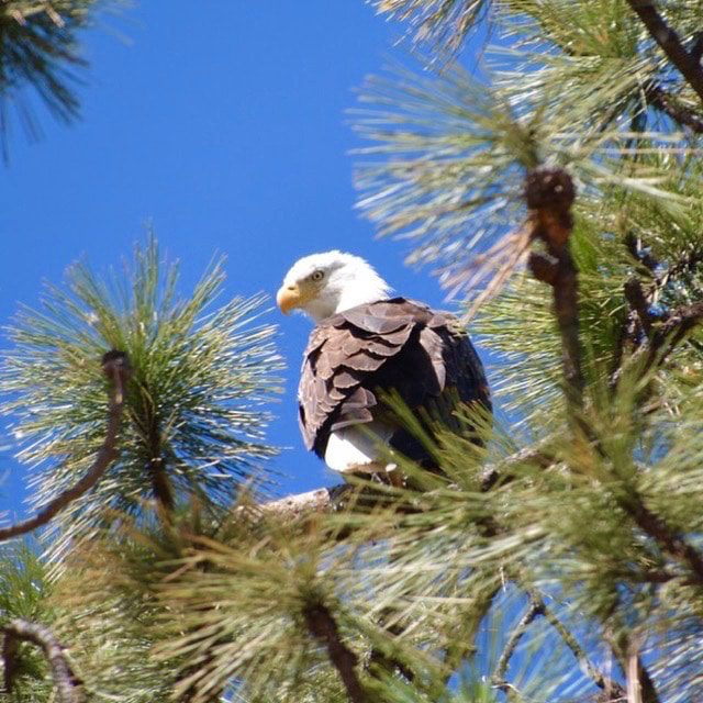 paws-up-bald-eagles