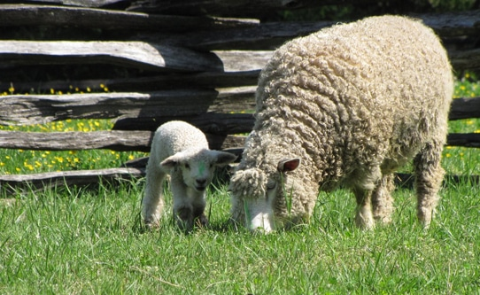 Baby Lambs in Colonial Williamsburg