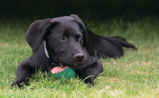 Oliver Black Lab Four Seasons Hampshire
